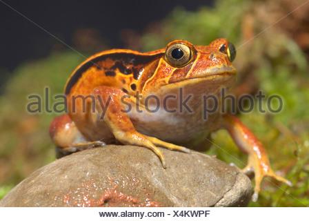 Le sud (Dyscophus guineti Grenouille tomate), assis sur une pierre Banque D'Images
