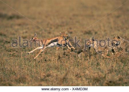Cheetah cubs chasse, Masai Mara, Kenya. La poursuite de la gazelle de Thomson, fauve 'Frisky's' 3ème l'apprentissage de la litière Banque D'Images