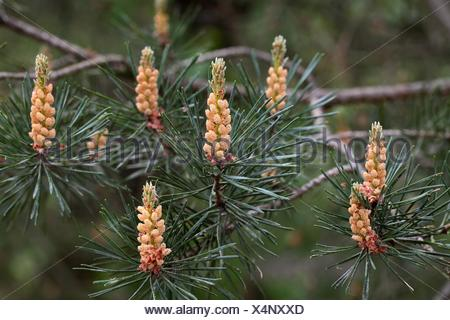 Fleur de pin mâle