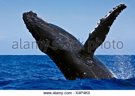 Violer baleine à bosse Banque D'Images