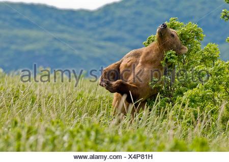 Ours brun rayures le dos à un arbre en Kukak Bay, Katmai National Park, Alaska, l'été Banque D'Images