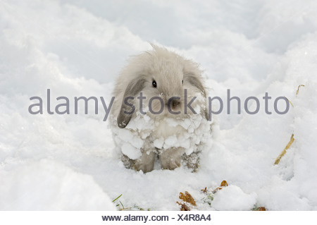 Jeune nain lapin dans la neige