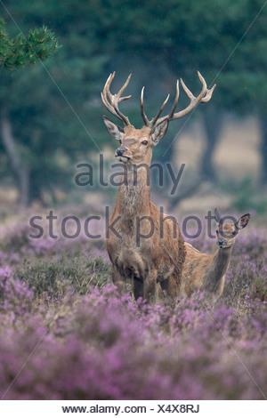 Homme red deer, Cervus elaphus, le parc national De Hoge Veluwe, ede, Gueldre, Pays-Bas, Europe Banque D'Images