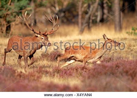 Red Deer (Cervus elaphus) adulte, couple, le Parc national Hoge Veluwe, Gueldre, Pays-Bas Banque D'Images