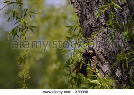 Star nourrir les jeunes au nid - fermer