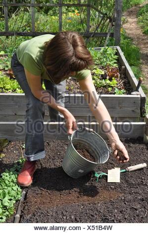 Les semis de 'Batavia Chou de Naples, dans un jardin de cuisine Banque D'Images