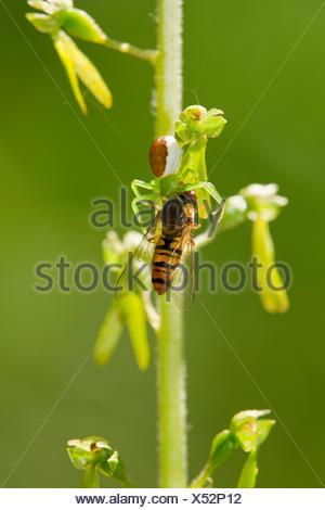 Houghton (Misumena vatia araignée crabe) a capturé un hoverfly (Syrphidae), Thuringe, Allemagne Banque D'Images