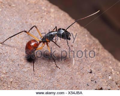 Ant de la forêt géante dans une petite caverne - Bako Borneo Malaisie Banque D'Images