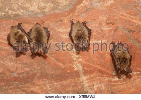 Les chauves-souris de Bechstein (Myotis bechsteinii) au cours de l'hibernation Banque D'Images