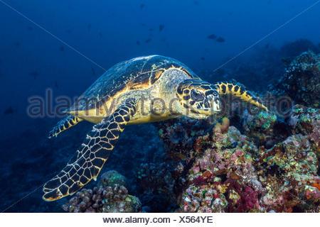 La tortue imbriquée, Eretmochelys imbricata, South Male Atoll, Maldives Banque D'Images