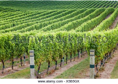 Vignobles dans la région de Marlborough sur l'île du sud de la Nouvelle-Zélande Banque D'Images