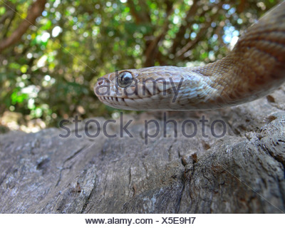 Le chat de FORSTEN serpent Boiga forsteni. Légèrement venimeux, commun. Un grand chat serpent qui passe la journée caché dans les arbres. Goa, Inde