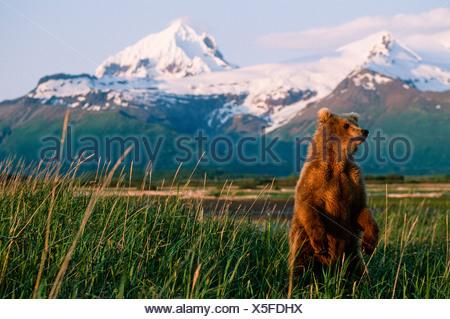 Grizzly d'Alaska debout sur ses pattes arrière pour obtenir une meilleure vue de l'environnement et appraching dangers. Banque D'Images