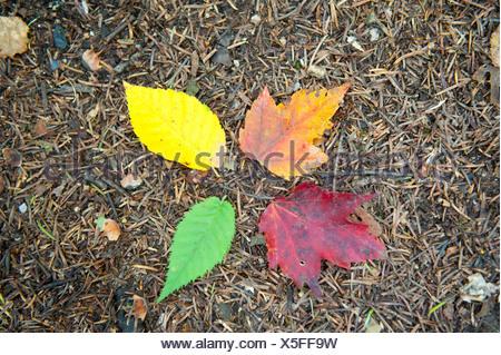 L'été indien, le feuillage à l'automne, quatre feuilles colorées sur le sol, orange, jaune, vert et rouge, Crawford Notch Banque D'Images