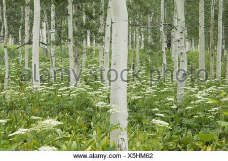 Bosquet de trembles avec écorce blanche et fleurs sauvages poussant dans leur ombre Banque D'Images