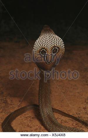 Cobra à lunettes, Naja naja, Bangalore, Karnataka. Le cobra indien est l'une des quatre grandes espèces venimeuses que faire le plus de morsures sur l'homme dans Banque D'Images