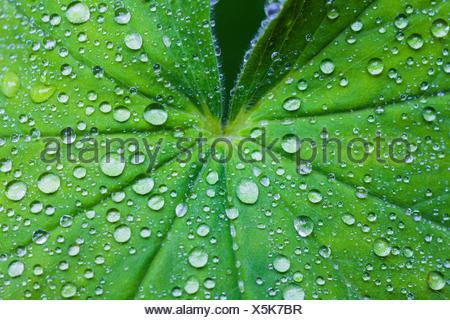 Alchémille (Alchemilla spec.), gouttes de pluie sur les feuilles d'alchémille, Allemagne, Bavière, Oberbayern, Haute-Bavière Banque D'Images