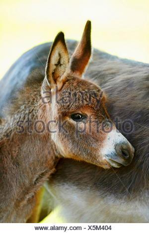 L'âne domestique (Equus asinus asinus), donkey foal debout par sa mère, portrait, Allemagne