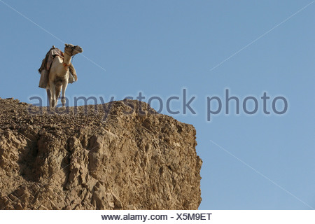 L'Egypte, le Sinaï, Dahab, lone chameau dans le désert Banque D'Images