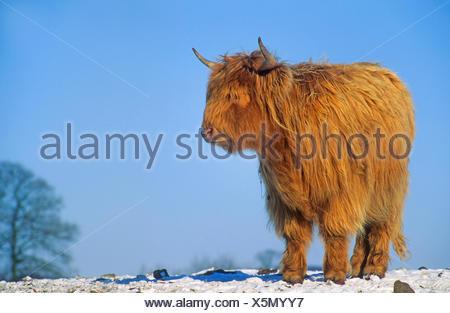 Scottish Highland bovins (Bos primigenius f. taurus), en hiver à la neige, Allemagne Banque D'Images