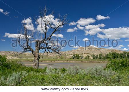 Dead Tree - Cottonwood Populus freemontii - Sur les rives de la rivière Red Deer, les Badlands, le parc provincial Dinosaur, en Alberta, Canada Banque D'Images