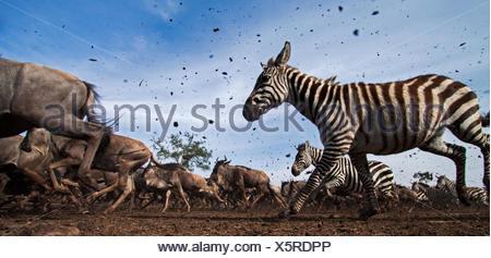 Conjoint ou zèbre des plaines (Equus quagga burchelli) le gnou barbu (Connochaetes taurinus) troupeau mélangé d'exécution. Réserve nationale de Masai Mara au Kenya. À distance de la caméra grand angle de prise. Banque D'Images