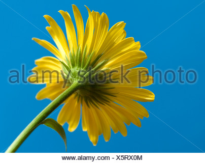Fleur Maranta Maranta (orientale). Portrait de dessous de fleur contre un ciel bleu.