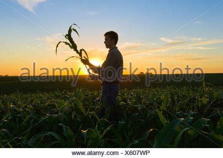 Agriculture - un jeune agriculteur inspecte une croissance moyenne dans le domaine des plantes de maïs au coucher du soleil / Iowa, États-Unis. Banque D'Images