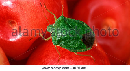 Green Shield bug, commune de Green Shield bug (Palomena prasina), assis sur les cerises cueillies, Allemagne Banque D'Images