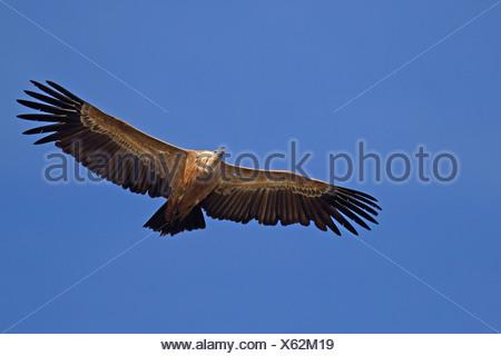 Vautour fauve (Gyps fulvus), les adultes en vol, l'Espagne, l'Estrémadure