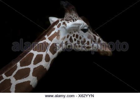 Giraffe réticulée en face de fond noir Banque D'Images