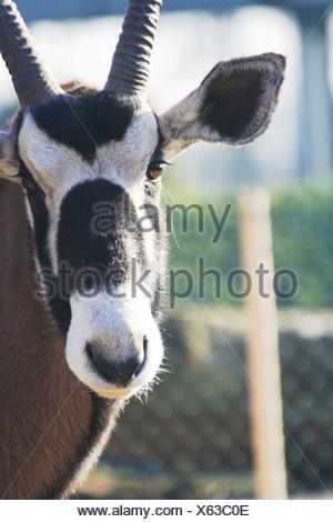 Oryx Banque D'Images