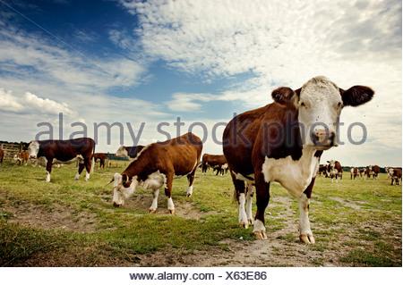 Vaches qui paissent en Suède. Banque D'Images