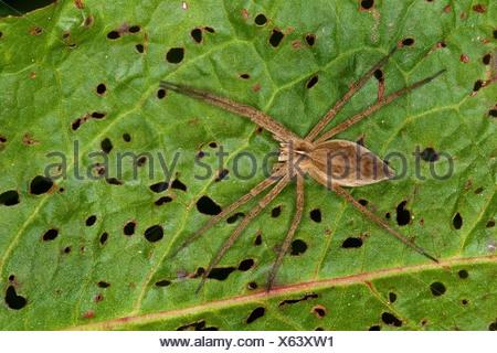 Spider web pépinière pêche fantastique, Pisaura mirabilis (araignée), assis sur une feuille, Allemagne Banque D'Images