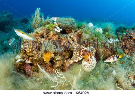 Octopus dans Reef, Octopus vulgaris, Massa Lubrense, Campanie, Italie Banque D'Images