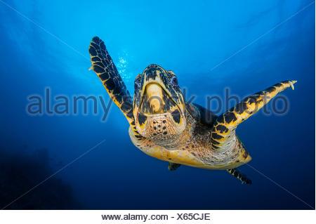 La tortue imbriquée (Eretmochelys imbricata), mâle, la natation en eau libre au-dessus du récif de corail. La roche réservoir, Fiabacet, Misool, Raja Ampat, Papouasie occidentale, en Indonésie. Mer Ceram, ouest de l'océan Pacifique tropical. Banque D'Images