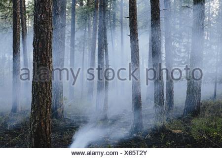 Une forêt contrôlée brûler, l'aménagement forestier durable pour la repousse de l'écosystème Banque D'Images