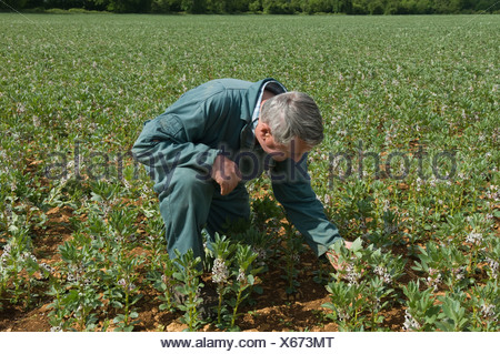 Farmer examining plants in field Banque D'Images