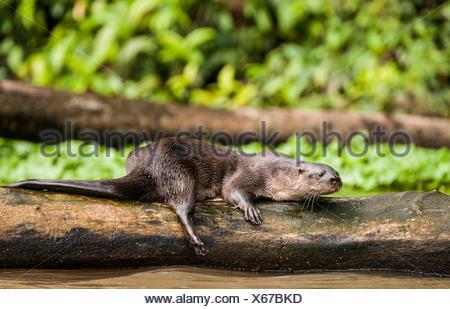 Neotropical Loutre de rivière (Lontra longicaudis)