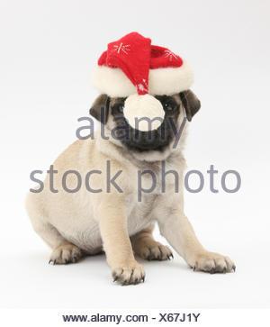 Chiot Carlin fauve, 8 semaines, portant un chapeau de Père Noël. Banque D'Images