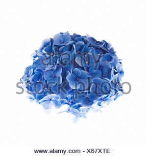 L'Hydrangea against white background Banque D'Images