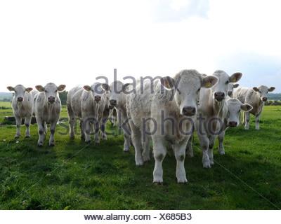 Une ligne de vaches blanches, les vaches sont en colère. Banque D'Images