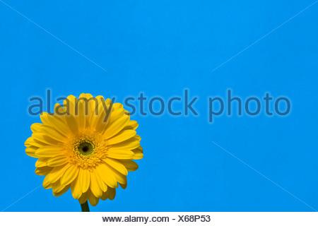 Détail d'une Daisy Gerber jaune avec ciel bleu toile