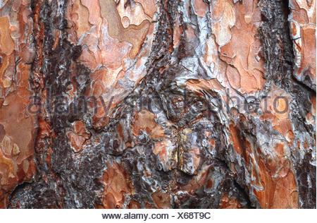 Pin sylvestre, le pin sylvestre (Pinus sylvestris), l'écorce Banque D'Images