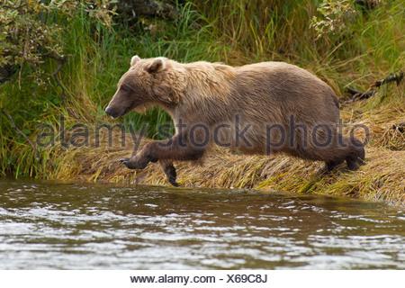 Un ours brun saute de la rive en ruisseau Grizzly à pêcher le saumon, Katmai National Park, Alaska Banque D'Images
