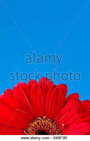 Détail de la moitié d'une rouge gerber daisy avec ciel bleu toile
