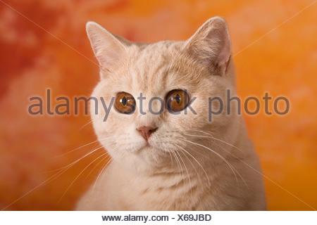 Chat British Shorthair, portrait Banque D'Images