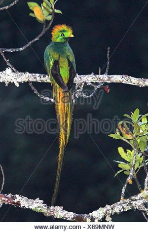 Quetzal resplendissant (Pharomachrus mocinno), homme, Costa Rica