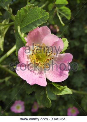 Sweet Briar Rose (Rosa rubiginosa), fleur, Allemagne, Rhénanie du Nord-Westphalie Banque D'Images