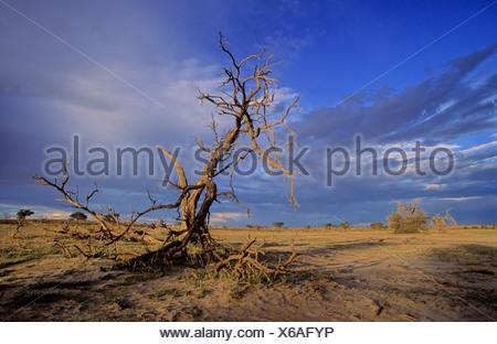 Camelthorn morts et arbres ciel tempête, kgalagadi transfrontier park, kalahari, afrique du sud Banque D'Images